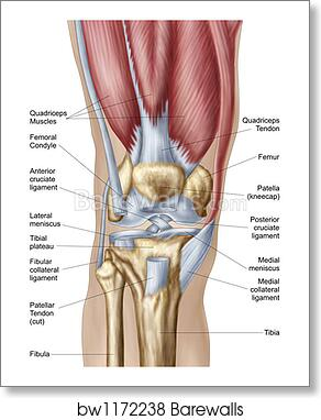 Anatomy of knee joint. by Stocktrek Images art print poster on hinge joint, synovial joint, anterior cruciate ligament injury, knee osteoarthritis, medial meniscus, posterior cruciate ligament, knee pain, medial collateral ligament, sacroiliac joint, anterior cruciate ligament,