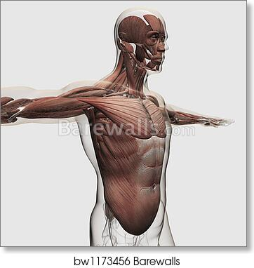 Art Print Of Anatomy Of Male Muscles In Upper Body Side View By