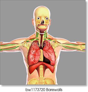 Art Print of Human respiratory system. by Stocktrek Images ...