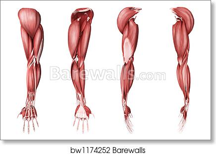 medical illustration of human arm muscles, four side views by stocktrek  images, art print