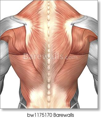 Art Block Print Of Male Muscle Anatomy Of The Human Back By