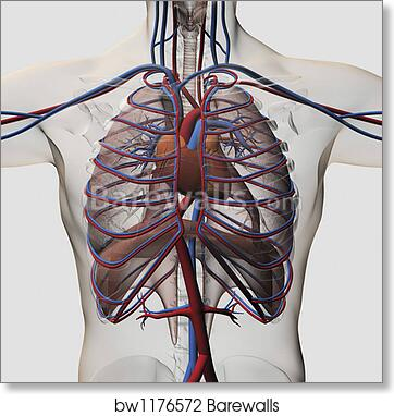 Art Print Of Medical Illustration Of Male Chest With Arteries Veins