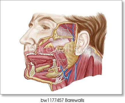 Glass table of Anatomy of human salivary glands. by Stocktrek Images ...