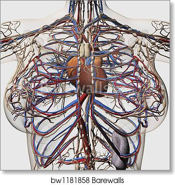 Glass table of Medical illustration of female breast arteries, veins ...
