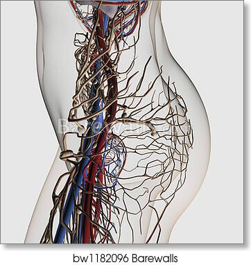 Glass table of Medical illustration of arteries, veins and lymphatic ...