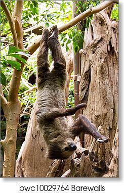 art print of sloth hanging updide down barewalls posters prints