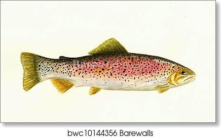 Art print POSTER Cutthroat Trout Swimming