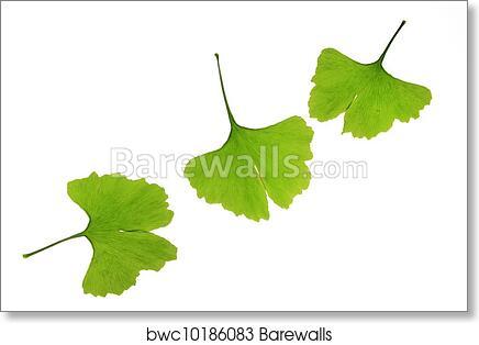 art print of ginkgo leaves ginkgo biloba barewalls posters