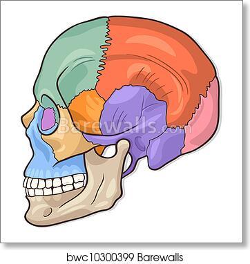 Art Print of Human Skull Diagram Illustration   Barewalls Posters ...