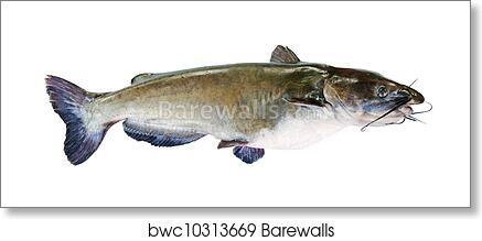 Flathead Catfish Isolated On White Art Print Barewalls Posters