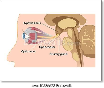 Art Print Of Pituitary Gland And Optic Chiasm Barewalls Posters