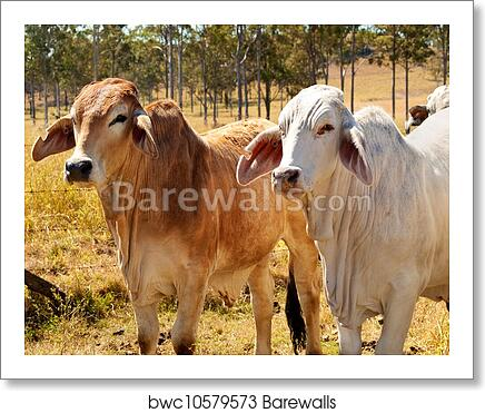 Australian Beef Cattle Industry Red And Grey Brahman Cows Art Print Poster