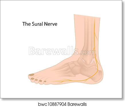 Art Print of Sural nerve, eps10 | Barewalls Posters & Prints ...