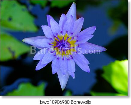 Art Print Of Water Lily Flower Lotus The Lotus Flower Water Lily