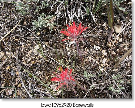 Wyoming State Flower, Art Print