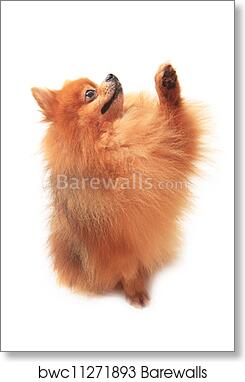 Art Print Of Pomeranian Dog Sitting And Lift Fro Barewalls Posters