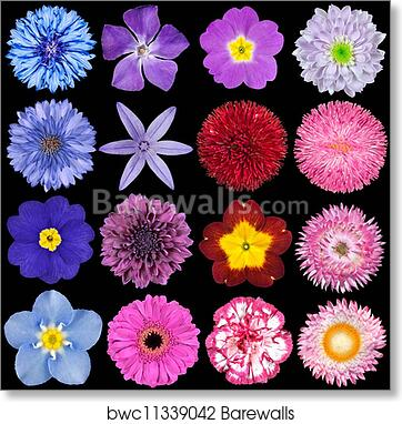 Art print of various red pink blue and purple flowers isolated on art print of various red pink blue and purple flowers isolated on black mightylinksfo