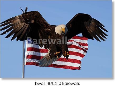 Bald Eagle has landed American Patriotic Animal Wildlife Print   POSTER