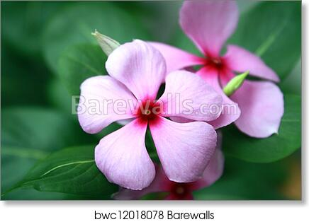 Art print of pink rosy periwinkle flowers catharanthus roseus art print of pink rosy periwinkle flowers catharanthus roseus close up mightylinksfo