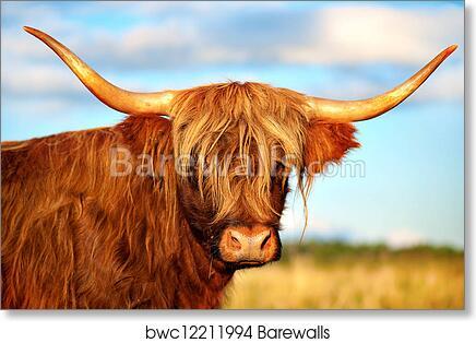 Scottish Highland Cow Art Print Poster