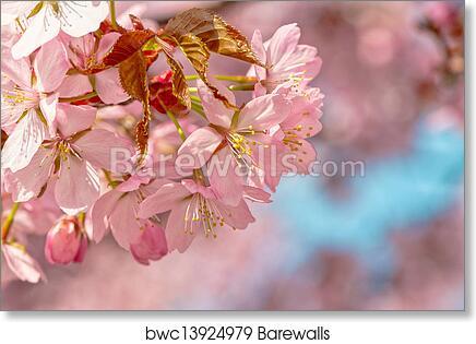Japanese Flowering Cherry Art Print Barewalls Posters Prints