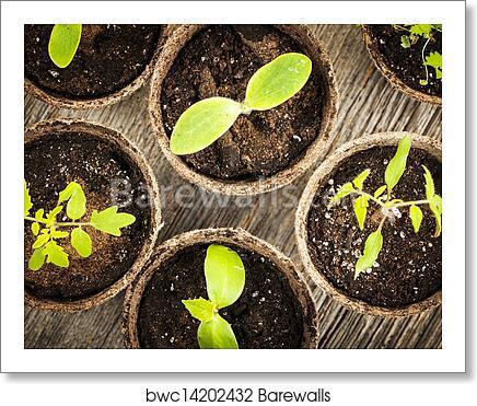 art print of seedlings growing in peat moss pots barewalls posters