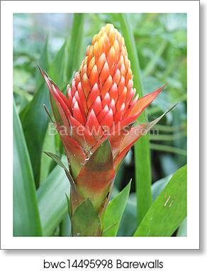 Red Pineapple Flower Red Bromeliad Or Billbergia Pyramidalis Art Print Barewalls Posters Prints Bwc14495998