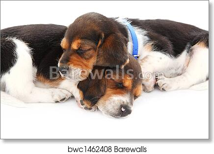 Art Print Of Beagle Puppies Sleeping Barewalls Posters Prints
