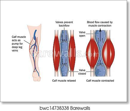 Art Print Of Calf Muscle Pump Barewalls Posters Prints Bwc14738338