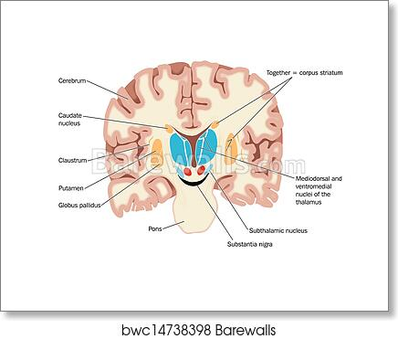 Art print of cross section of the brain showing barewalls posters art print of cross section of the brain showing ccuart Image collections