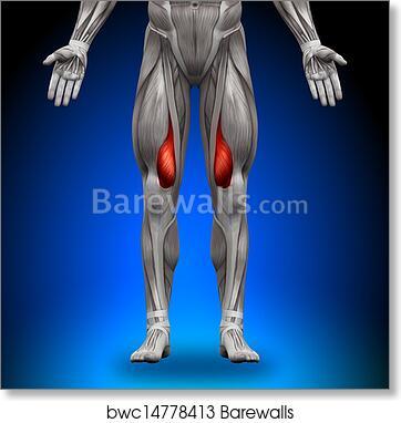 Art Print of Vastus Medialis - Anatomy Muscles | Barewalls Posters ...