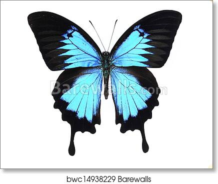 Art print of morphidaeblue and black butterfly