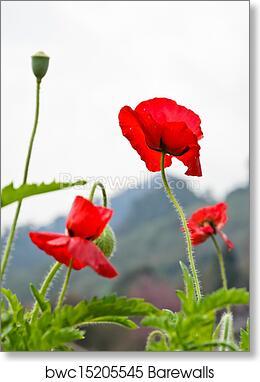 Art print of red opium poppy flower barewalls posters prints art print of red opium poppy flower mightylinksfo