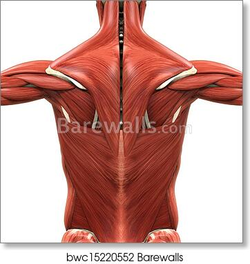 Art Print of Muscular Anatomy of the Back | Barewalls Posters ...