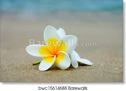 Art Print Of White And Yellow Frangipani Flowers On The Beach