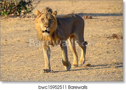 art print of lion walking in the sun barewalls posters prints