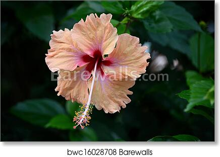 Peach And Blood Red Hibiscus Flower Art Print Barewalls Posters