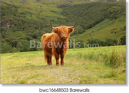 Close Up Of Scottish Highland Cow In Field Art Print Poster
