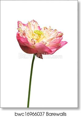 Art print of pink water lily flower lotus and white background art print of pink water lily flower lotus and white background the lotus flower water lily is national flower for india lotus flower is a important mightylinksfo