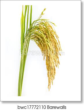 Paddy Rice Seed Art Print Barewalls Posters Prints Bwc17772110
