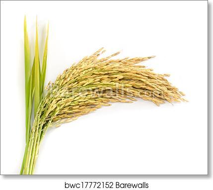 Paddy Rice Seed Art Print Barewalls Posters Prints Bwc17772152