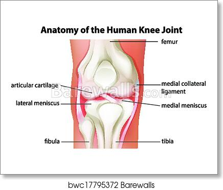 Art print of human knee joint anatomy barewalls posters prints art print of human knee joint anatomy ccuart Gallery