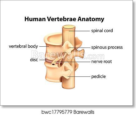 Art Print of Human Vertebrae Anatomy | Barewalls Posters & Prints ...