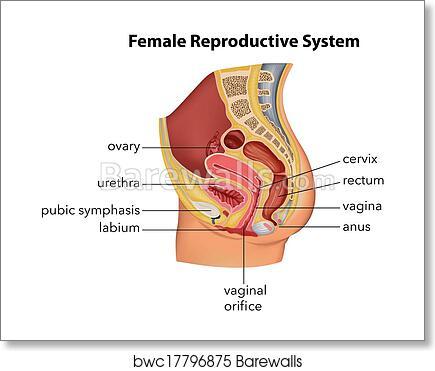 Art Print of Female Reproductive System | Barewalls Posters & Prints ...