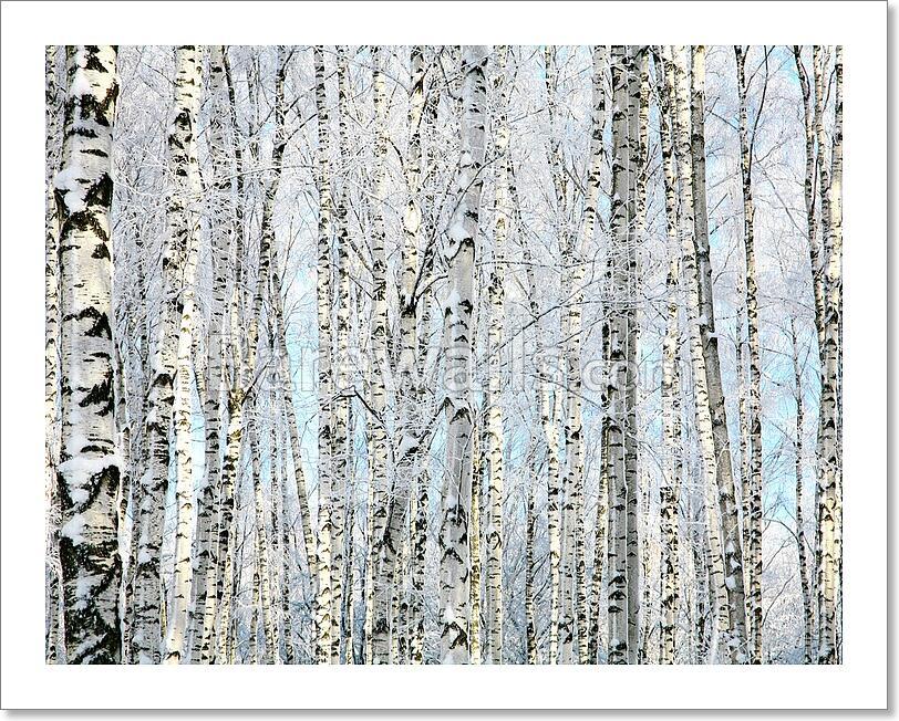 Winter Trunks Of Birch Trees Art Print/Canvas Home Decor Wall Art ...