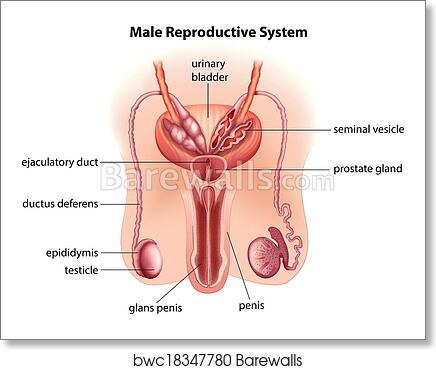 Art Print Of Anatomy Of The Male Reproductive System Barewalls