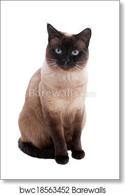 SIAMESE CAT art 8x10  art print animals impressionism artist