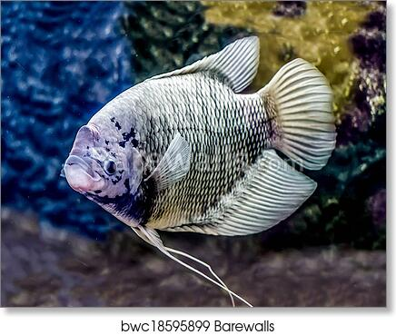 Art Print Of Beautiful Tilapia Fish In Water Tank