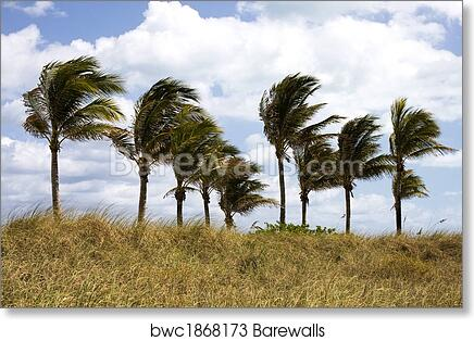 art print of palm trees blowing in the wind barewalls posters