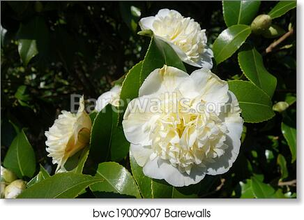 Art print of white camellia flowers barewalls posters prints art print of white camellia flowers mightylinksfo
